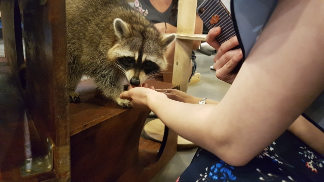 Visitors play with a raccoon inside Raccoon Cafe. (Rumy Doo/The Korea Herald)
