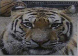 A 12-year-old female Siberian tiger named Hancheong, one of three that will be released into a