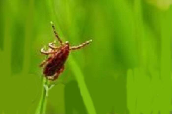 This undated file photo shows a tick that could carry a virus of severe fever with thrombocytopenia syndrome. (Yonhap)