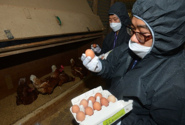 Eggs being inspected (Yonhap)