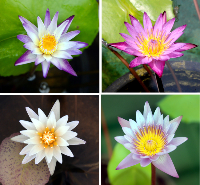 Eye plus lotus flower miracle of unwavering purity for its apparent ability to rise above adversity the lotus is associated with symbols of spiritual enlightenment and rebirth in eastern cultures mightylinksfo