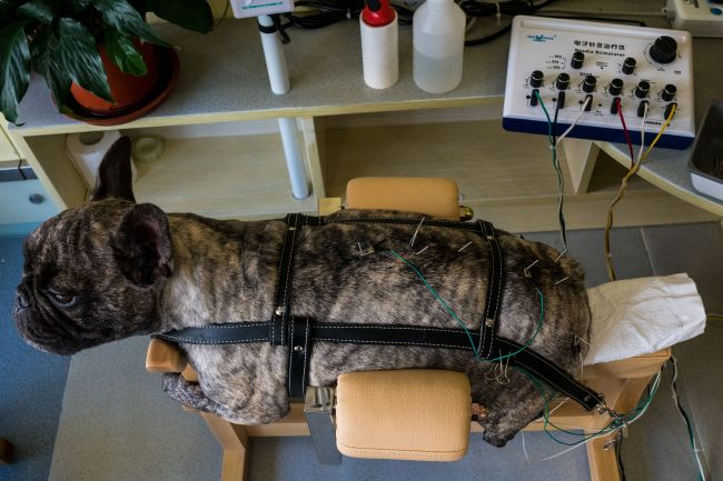 In this photograph taken on August 26, 2017, a partially paralysed dog receives acupuncture treatment with needles known as meridians at the Shanghai Traditional Chinese Medicine (TCM) Neurology and Acupuncture Animal Health Centre in Shanghai. (AFP-Yonhap)