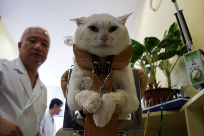 In this photograph taken on August 26, 2017, a partially paralysed cat receives acupuncture treatment at the Shanghai Traditional Chinese Medicine (TCM) Neurology and Acupuncture Animal Health Centre in Shanghai. (AFP-Yonhap)