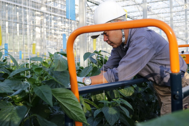 A worker harvests bell peppers in a smart farm run by Japanese IT firm Fujitsu, located in Iwata, Japan. (Son Ji-hyoung / The Korea Herald)