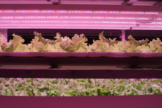 An interior view of an artificial light plant factory growing lettuce in an indoor farming facility in Chiba University in Chiba, Japan. (Son Ji-hyoung / The Korea Herald)