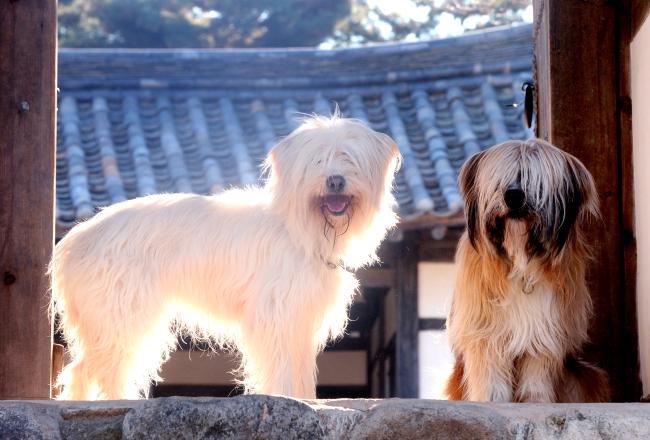 Sapsaree Dogs at Korean Folk Village attached to Yeongnam University in Gyeongsan, North Gyeongsang Province (Park Hyun-koo/The Korea Herald)