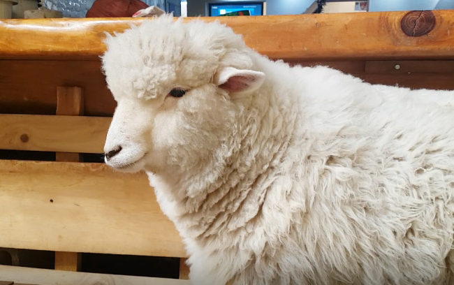 The one-year-old ewe Sugar stands still at the sheep enclosure at Thanks Nature cafe in Hongdae, Seoul on Feb. 23. (Rumy Doo/The Korea Herald)