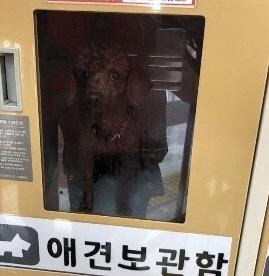 The poodle is shown pictured inside a Lotte Mart pet locker. (Yonhap)