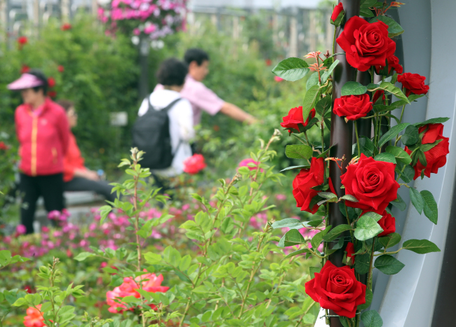 People stroll in the rose garden in Jungnang-gu, Seoul, where the Seoul Rose Festival is set to take place from May 18 through 20. (Yonhap)