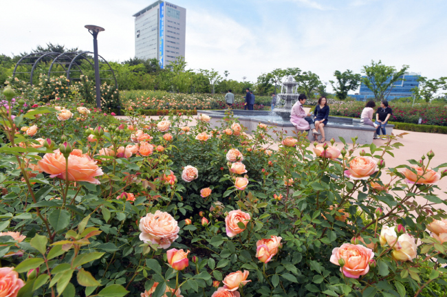 Gwangju City Hall boasts a beautiful selection of British roses in full bloom at its garden on May 14. (Yonhap)