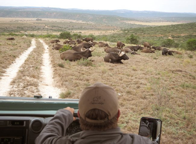 A horde of African Cape buffalos at the Amakhala Game Reserve in Eastern Cape. (Joel Lee/The Korea Herald)