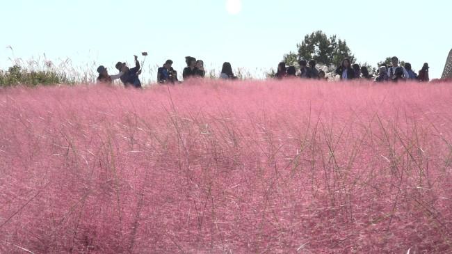 Pink muhly garden in Seoul Sky Park
