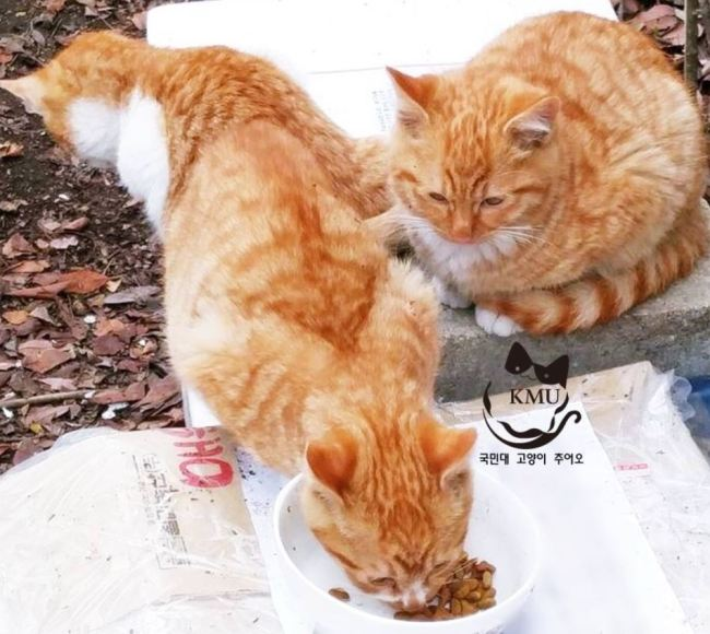 Stray cats eating food provided by KMU-Cat (KMU-Cat)