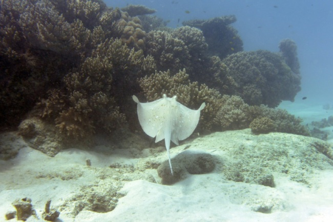 Commonly found in tropical waters, stingrays are a flattish, diamond-shaped fish that rarely attack humans (AFP)