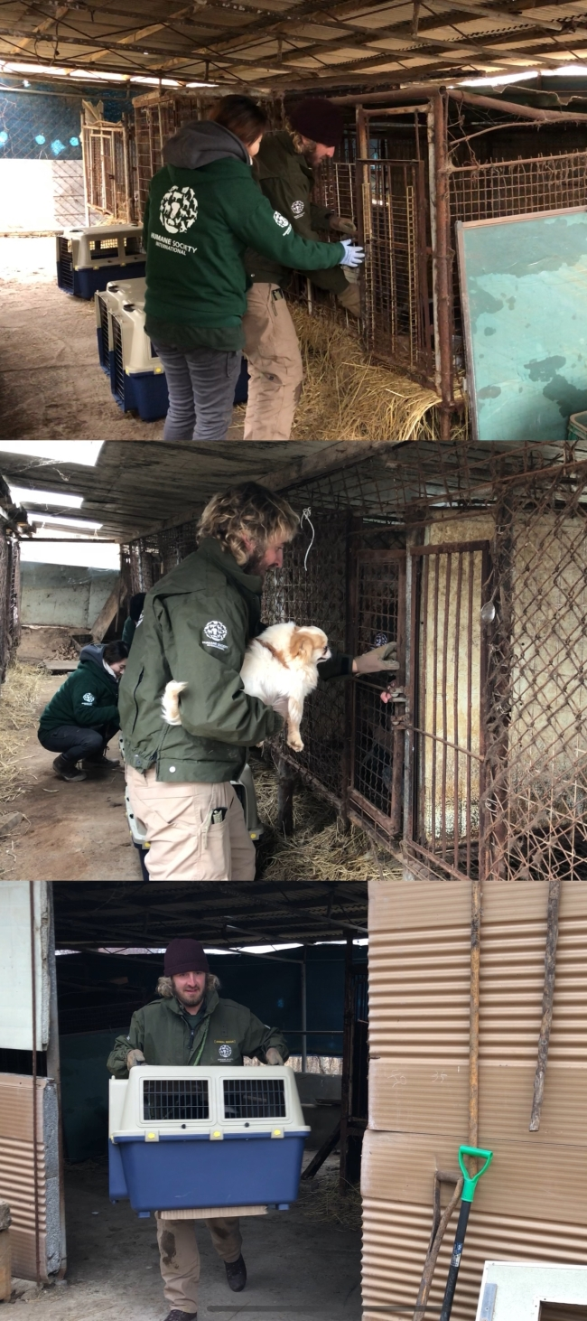 Rescue staff from Humane Society International carefully take dogs out of cages and bring them outside of the farm. (Park Ju-young / The Korea Herald)