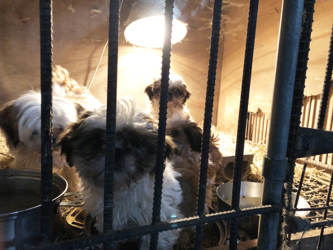A shih tzu and her pups are seen locked in a cage at a puppy mill in Hongseong, South Chungcheong Province, Friday. (Park Ju-young / The Korea Herald)