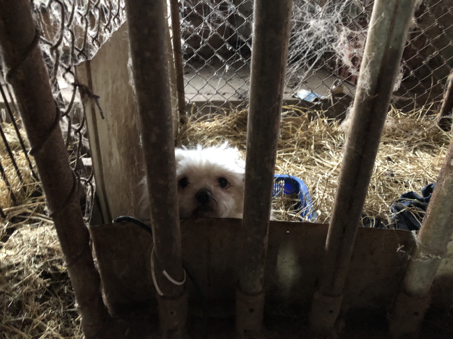 Small breeds such as Chihuahuas, corgis, Yorkshire terriers, poodles, Pomeranians, shih tzus and French bulldogs live in poor conditions in a puppy mill. (Park Ju-young / The Korea Herald)