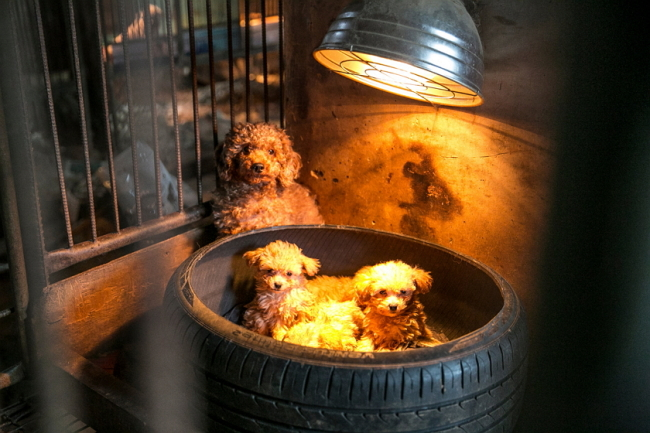 A poodle and her pups are locked in a cage at a puppy mill (Humane Society International)