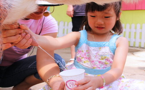 A child milks a goat during one of the hands-on programs at Imsil Cheese Village. / Korea Tourism Organization / Korea Tourism Organization