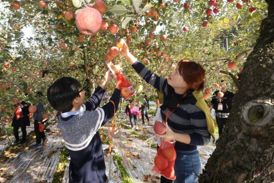 Participants of the 2018 Farming Experience Tour in Daegu pick the apples at an orchard. The annual event, hosted by the metropolitan city, was aimed at active urban-rural interchanges and promoting the value of agriculture. (Daegu City)