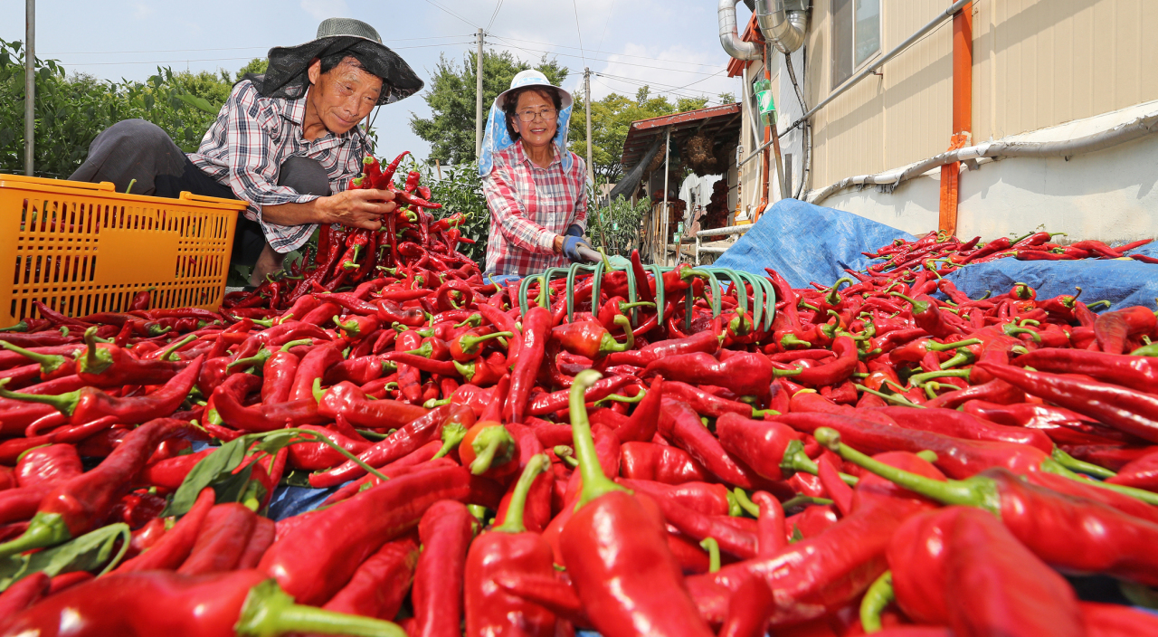 Late summer is the peak harvest season for red chilli peppers in South Korea. (Yonhap)
