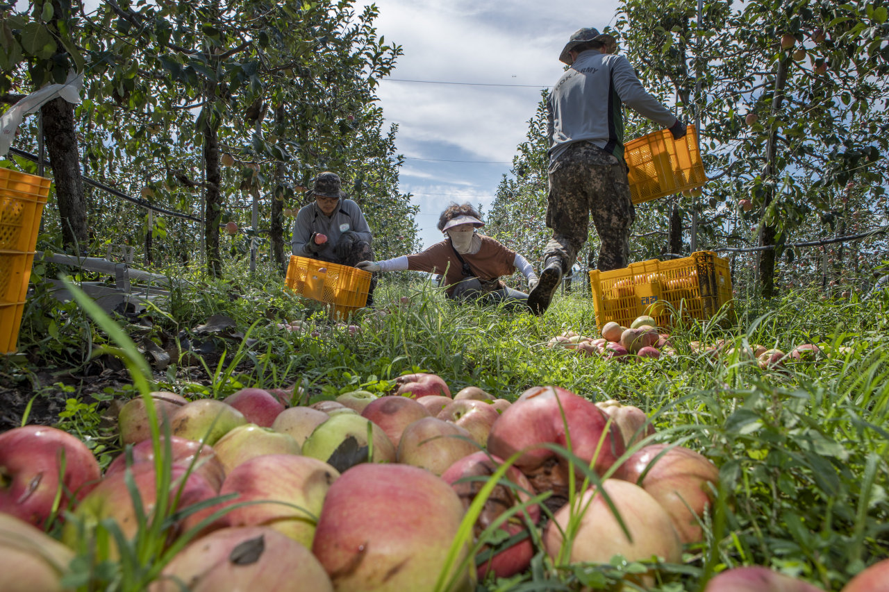 Farmers pick apples from the ground in an orchard in Paju, Gyeonggi Province on Sept. 11. (Yonhap)