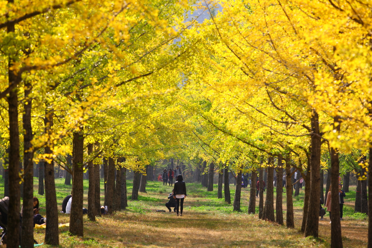Gingko Forest in Hongcheon, Gangwon Province