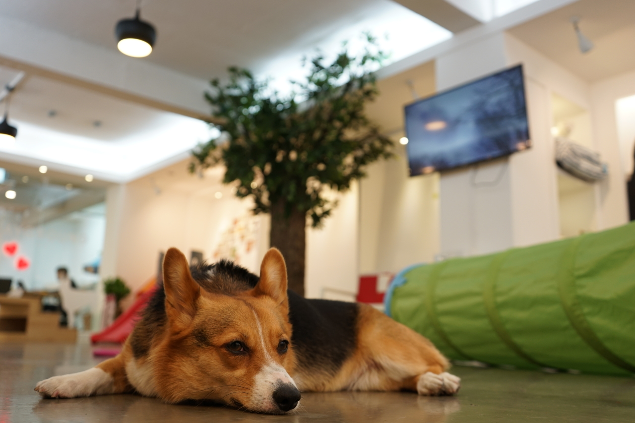 A dog rests inside Happy Puppy day care center in Nonhyeon-dong, Seoul. (Happy Puppy)