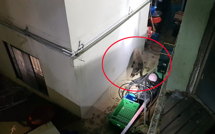 A boar is found in the a house in the downtown area of Busan on Oct. 4 (Yonhap)