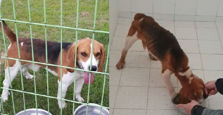 Cloned dog Mei before, left, and after undergoing experiments at professor Lee Byeong-chun`s lab. (Beagle Rescue Network)