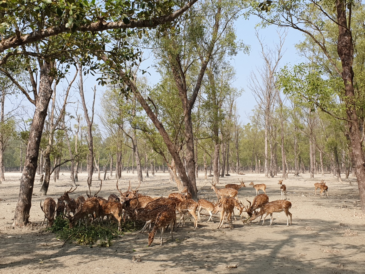 A herd of deer spotted at Kochikhali, the Sundarbans (Kim Bo-gyung/The Korea Herald)