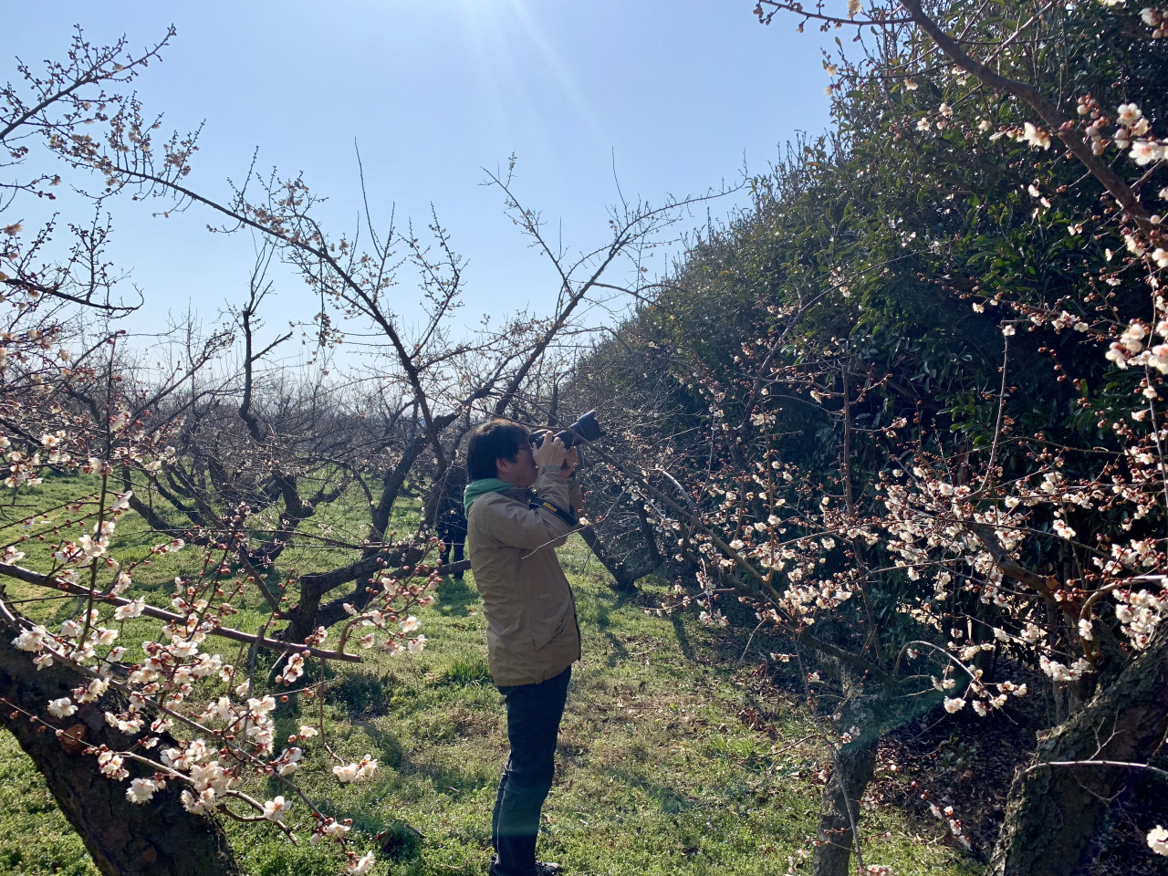 Apricot flowers will be in full bloom in March at Bohae Plum Farm.(By Im Eun-byel / The Korea Herald)