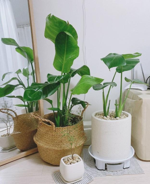 Choi Seoul-gi has six plants at home, including an orange jasmine, a Guiana chestnut tree, a Swiss cheese plant, an alocasia and a bird of paradise. (Courtesy of Choi Seoul-gi)