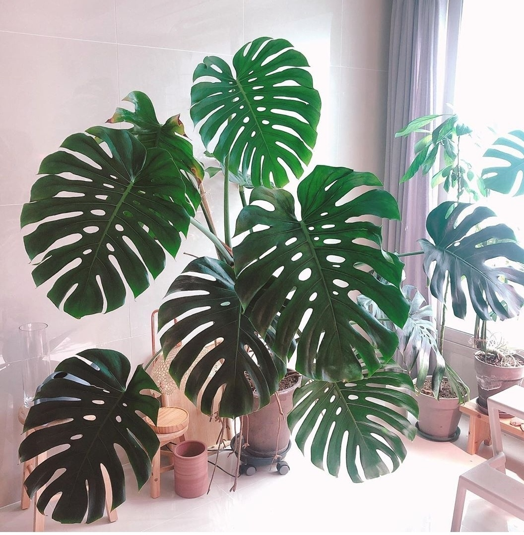 Lim Elang has cared for her Swiss cheese plant for five years. (Courtesy of Lim Elang)