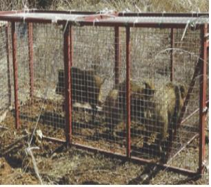 Wild boars are seen in a trap set by the government to prevent the spread of African swine fever. Since last year the Ministry of Environment has been trapping and killing wild boars in Gyeonggi and Gangwon provinces to contain the disease. (Ministry of Environment)
