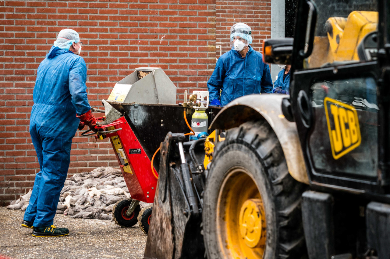 Employees clear the remains of culled mink from a mink farm infected with the coronavirus, in Ospel, the Netherlands, 10 July 2020. (AFP-Yonhap)