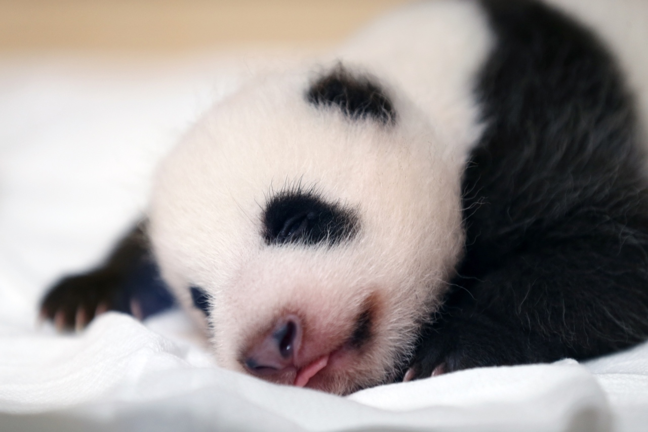 Giant panda cub (Samsung C&T)