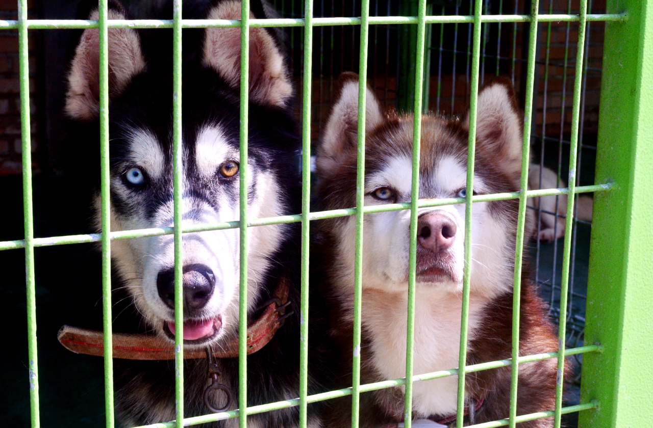 Siberian huskies rescued by the Yongin Animal Protection Center wait for a new home, in the center in Yongin, Gyeonggi Province. (Park Hyun-koo/The Korea Herald)