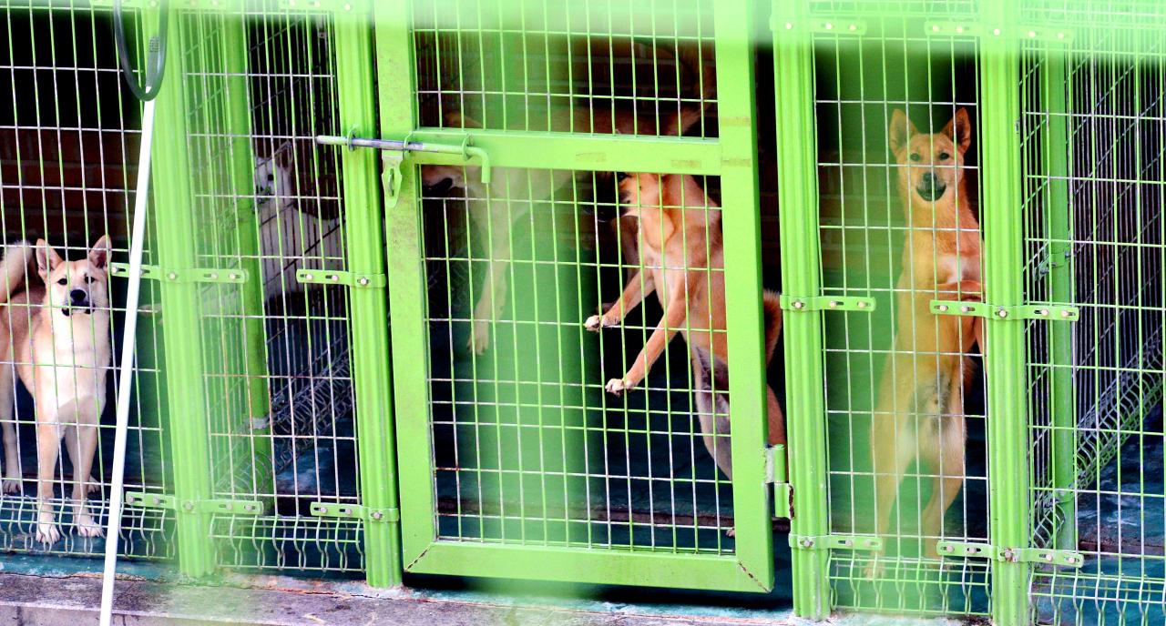 Jindo mixes at the Yongin Animal Protection Center (Park Hyun-koo/The Korea Herald)