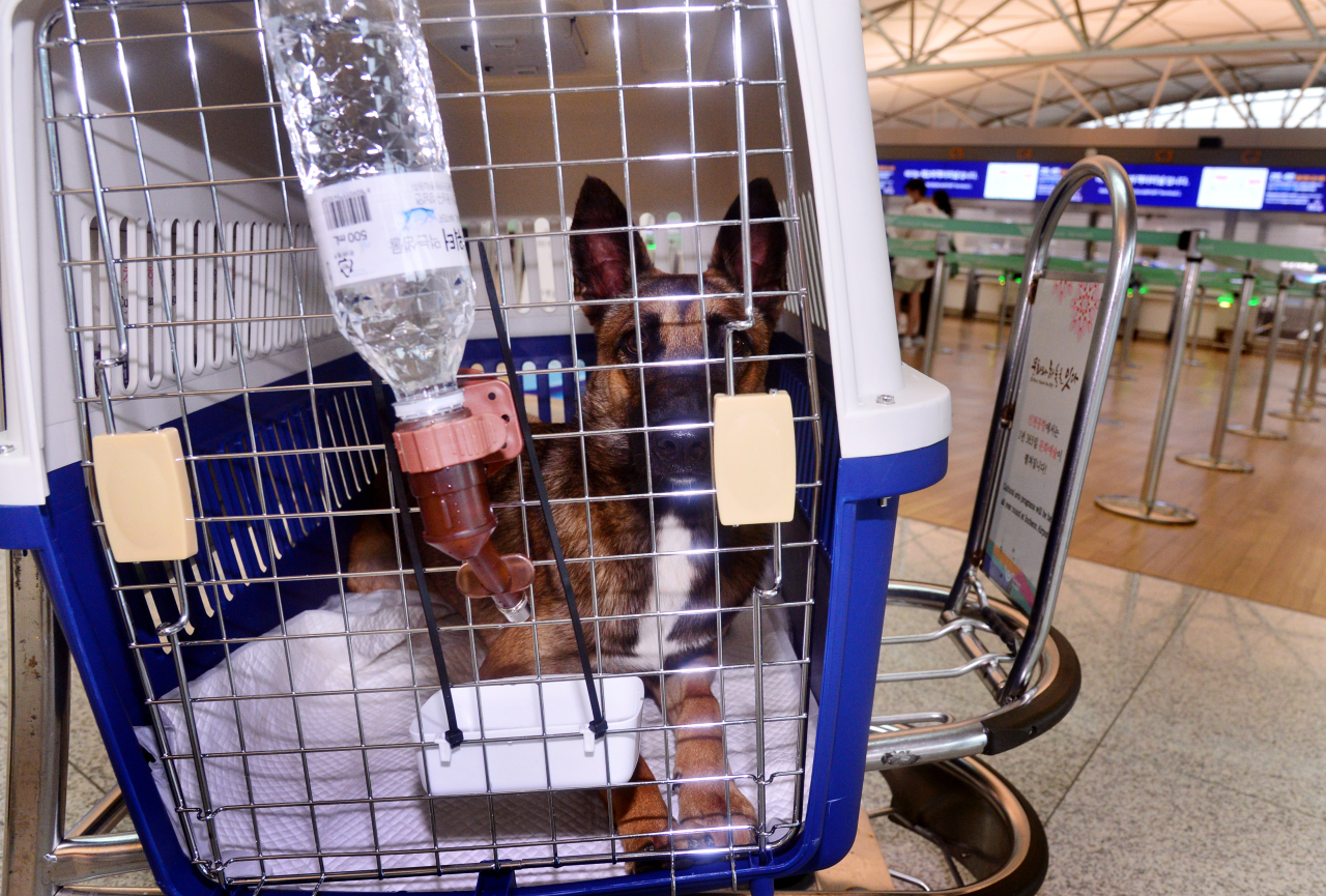 Bambi, a 2-year-old Belgian Malinois, leaves for Los Angeles on Sept. 15. (Park Hyun-koo/The Korea Herald)