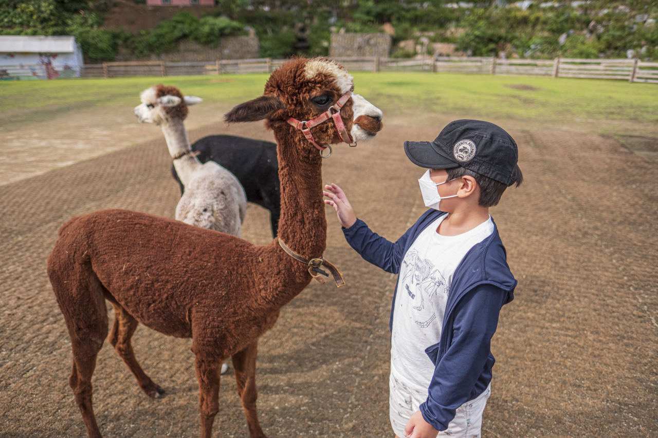 A child pets an alpaca at Alpaca World in Hongcheon, Gangwon Province. (Korea Tourism Organization)
