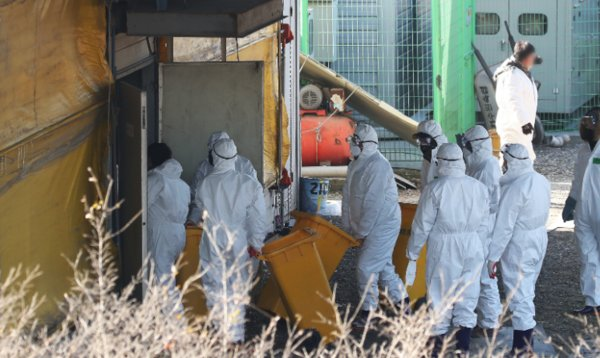 Officials cull birds at an egg farm in Hwaseong, south of Seoul, on Thursday. (Yonhap)