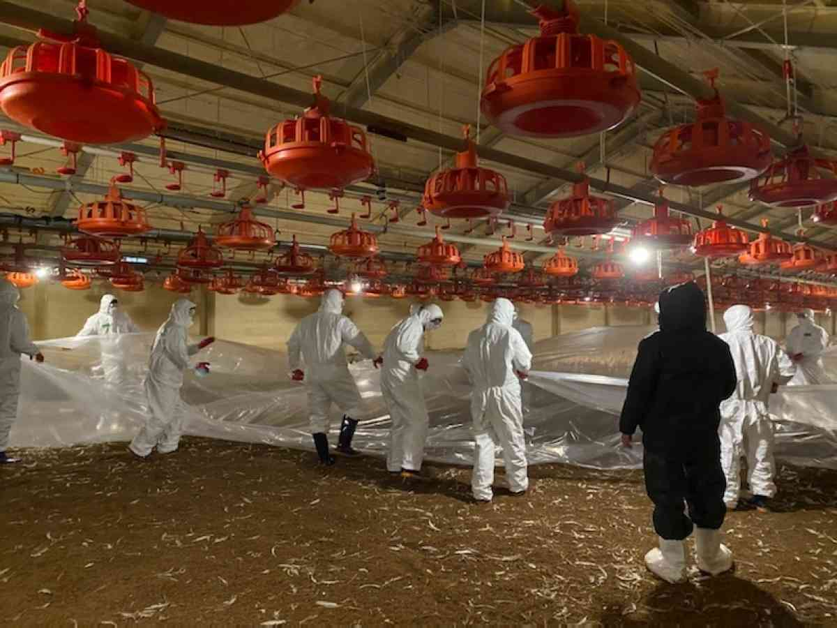 Quarantine officials work to cull chickens at a broiler farm in the county of Yesan, 134 kilometers south of Seoul, on Dec. 27, 2020, after an outbreak of highly pathogenic avian influenza was confirmed there, in this photo provided by the county office. (Yesan County)