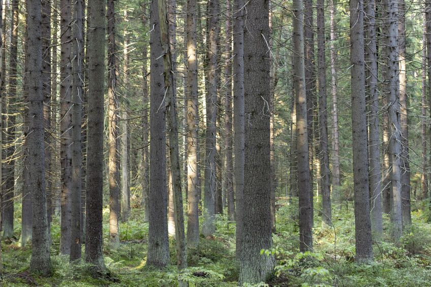 A dense forest of tall, straight, moss-covered pines (123rf)