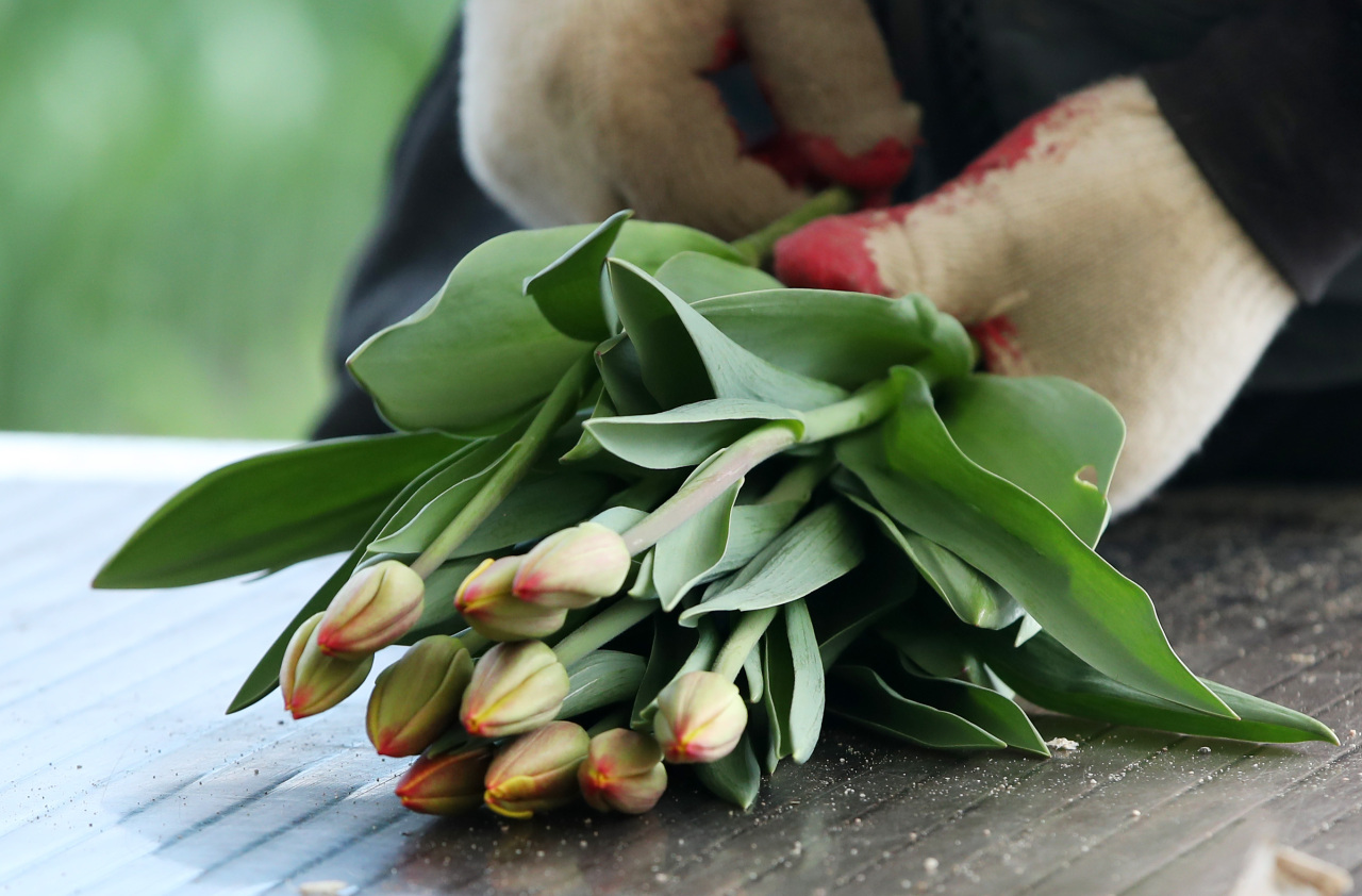 This Thursday photo shows cut tulips at a flower farm in Chuncheon, 85 kilometers east of Seoul. (Yonhap)