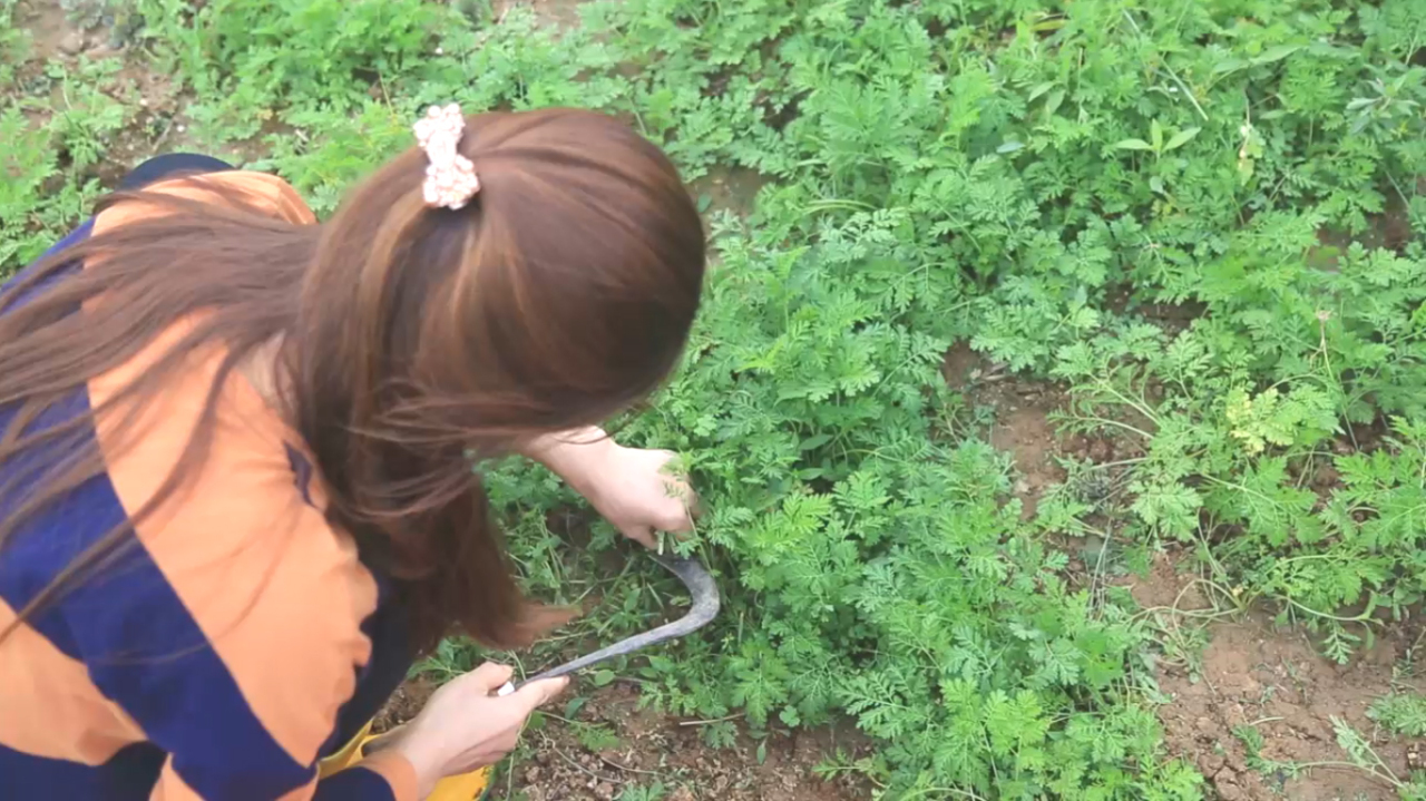 Every year, when early spring arrives, the young, tender Artemisia annua populating Choi's farm in Gochang County, North Jeolla Province are ready to be hand-picked. (Photo credit: Yakcho-Anak)