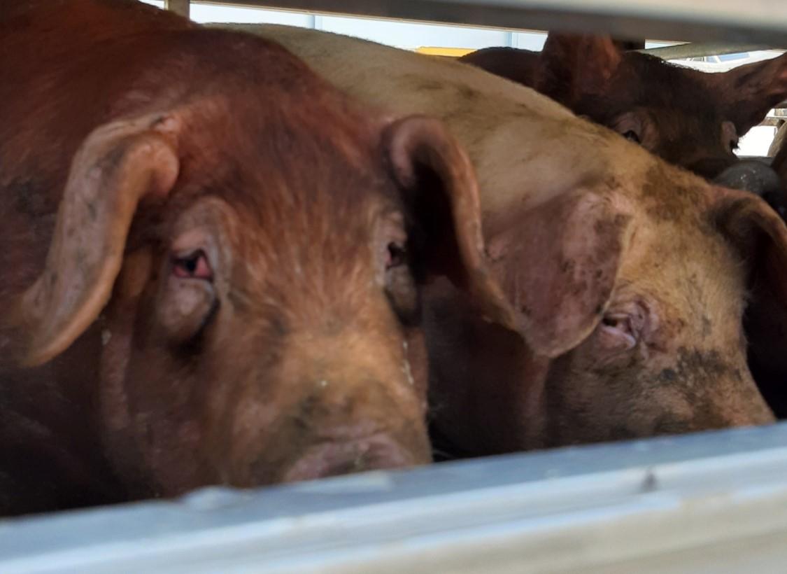 Pigs wait to be slaughtered at a slaughterhouse. (Shin Ji-hye/The Korea Herald)