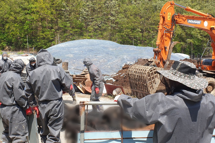 Culling efforts are underway Wednesday at a pig farm in Yeongwol-gun, Gangwon Province, where two African swine fever cases were found hours earlier. (Gangwon Province)