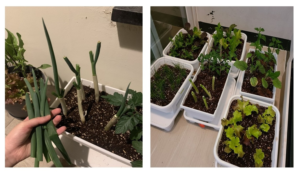 A combination of pictures show green onions and other vegetables that Seoul resident Lee Jung-min has grown at home. (Courtesy of Lee Jung-min)