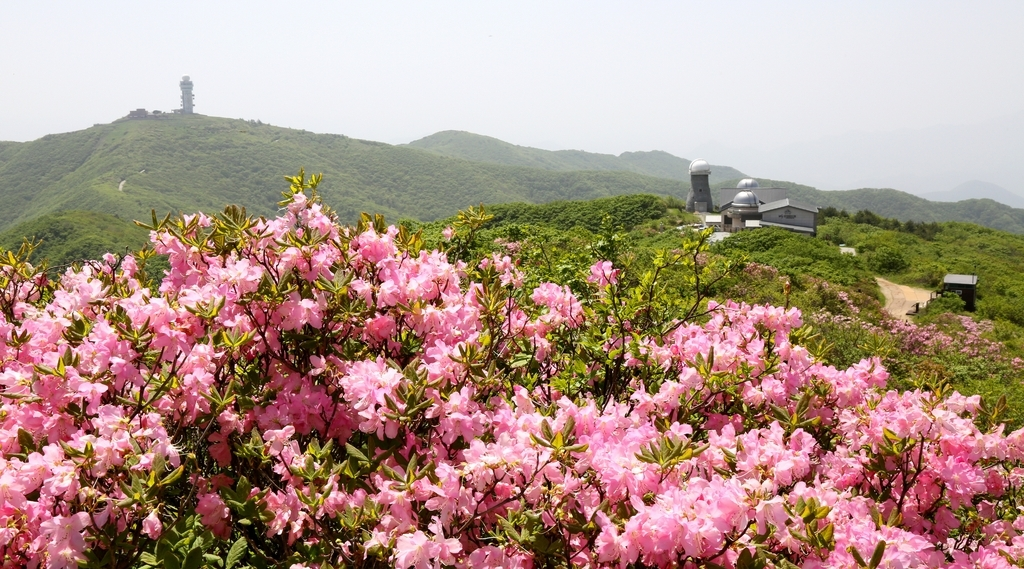 This file photo shows royal azaleas in full bloom. (The Sobaek Mountain National Park Northern Office)